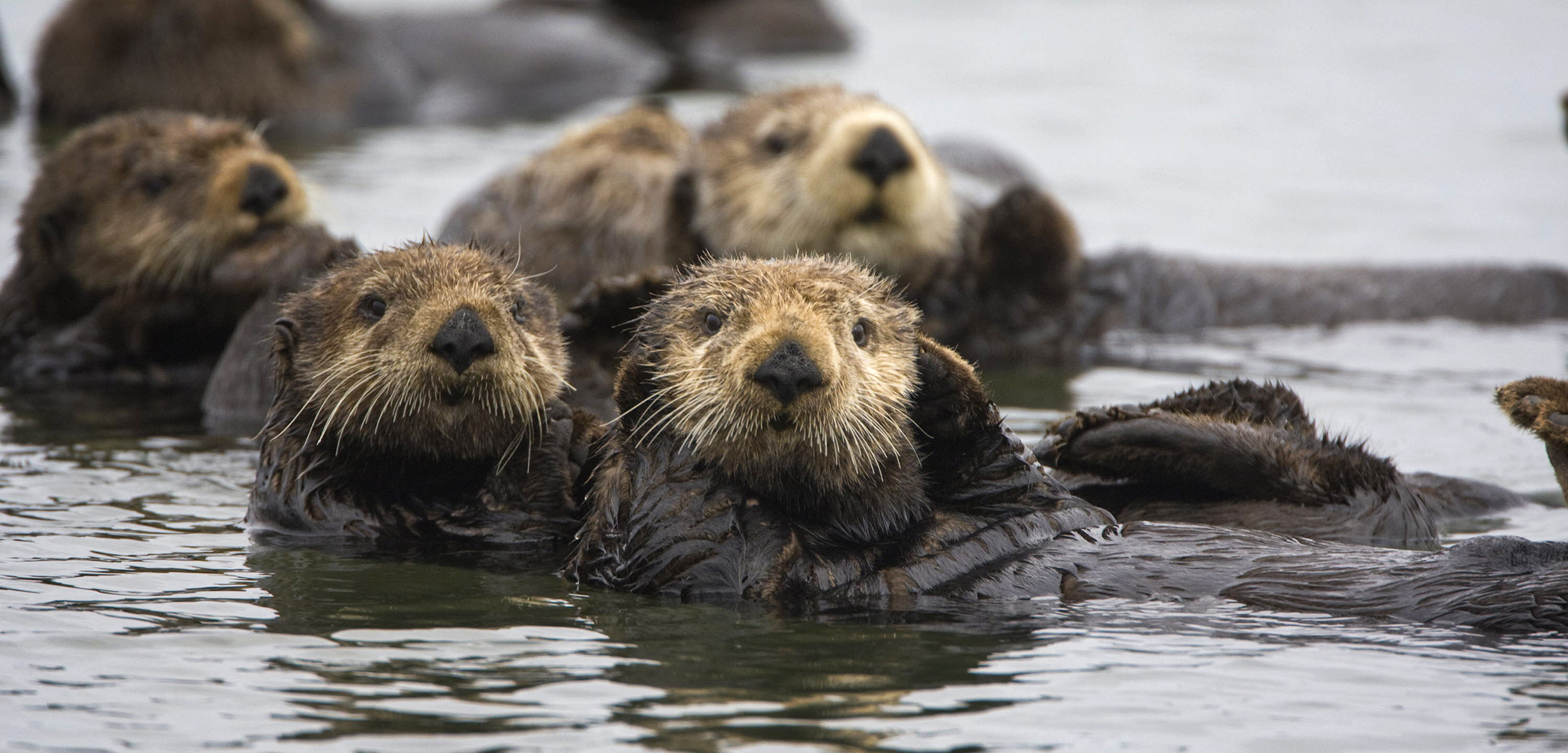 Otters: The Canaries of the Sea